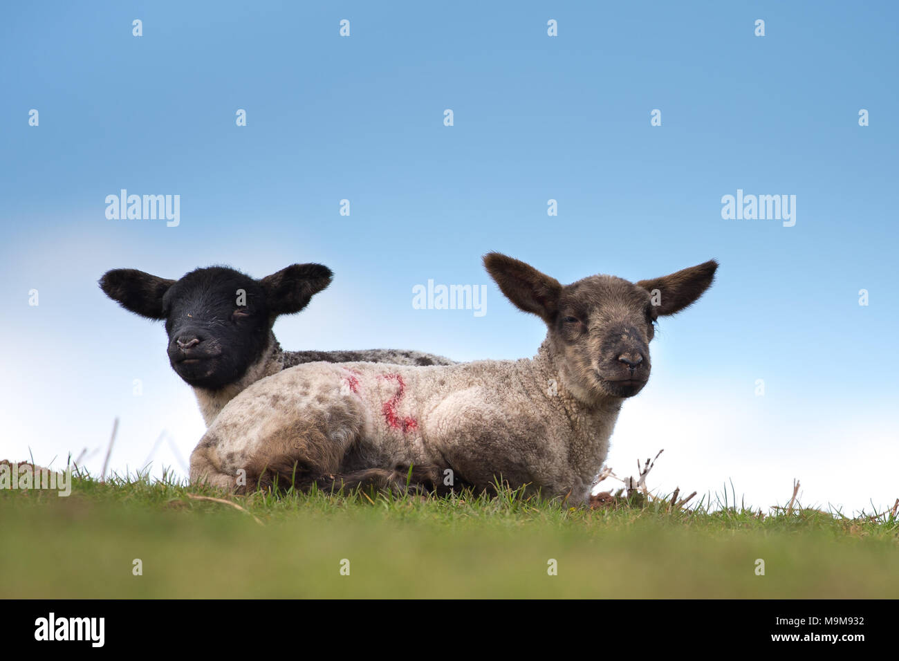 Detailed, landscape close up of two springtime lambs seated on grass against blue sky background, both looking to camera. Stock Photo