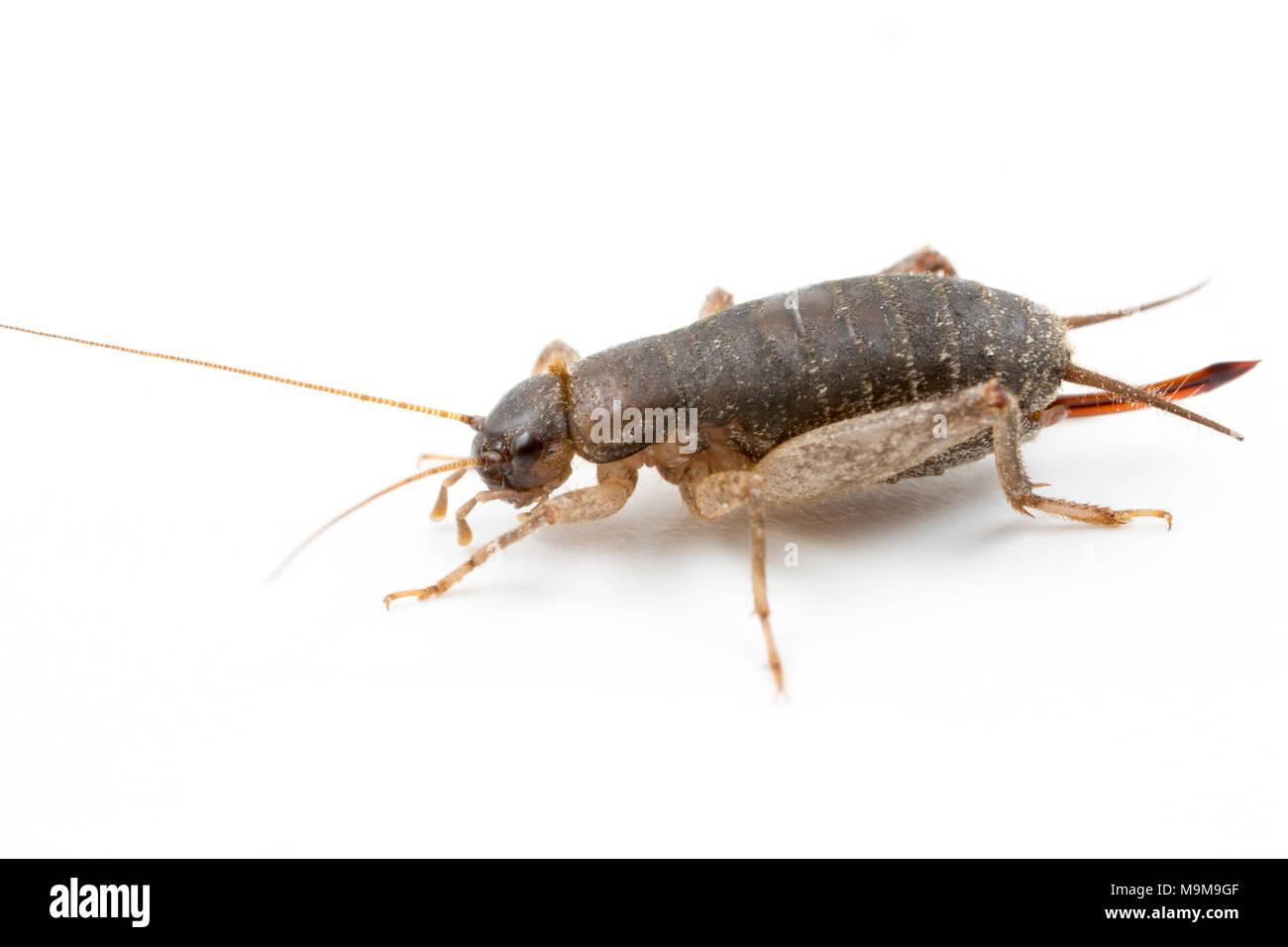 A female Scaly Cricket, Pseudomogoplistes vicentae, found on Chesil beach Dorset England UK GB on a white background - Stock Image
