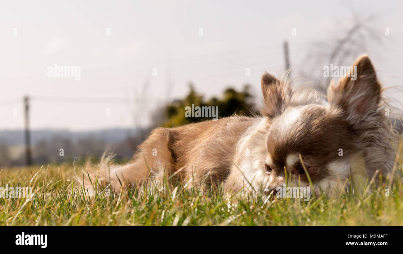 chihuahua longhair takes sunbath on the grass - Stock Image