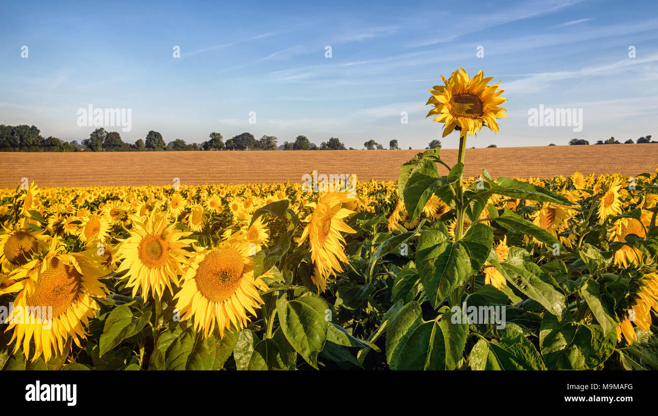 A rogue sunflower growing taller than the rest of the field as they bathe in the early morning sunshine. - Stock Image