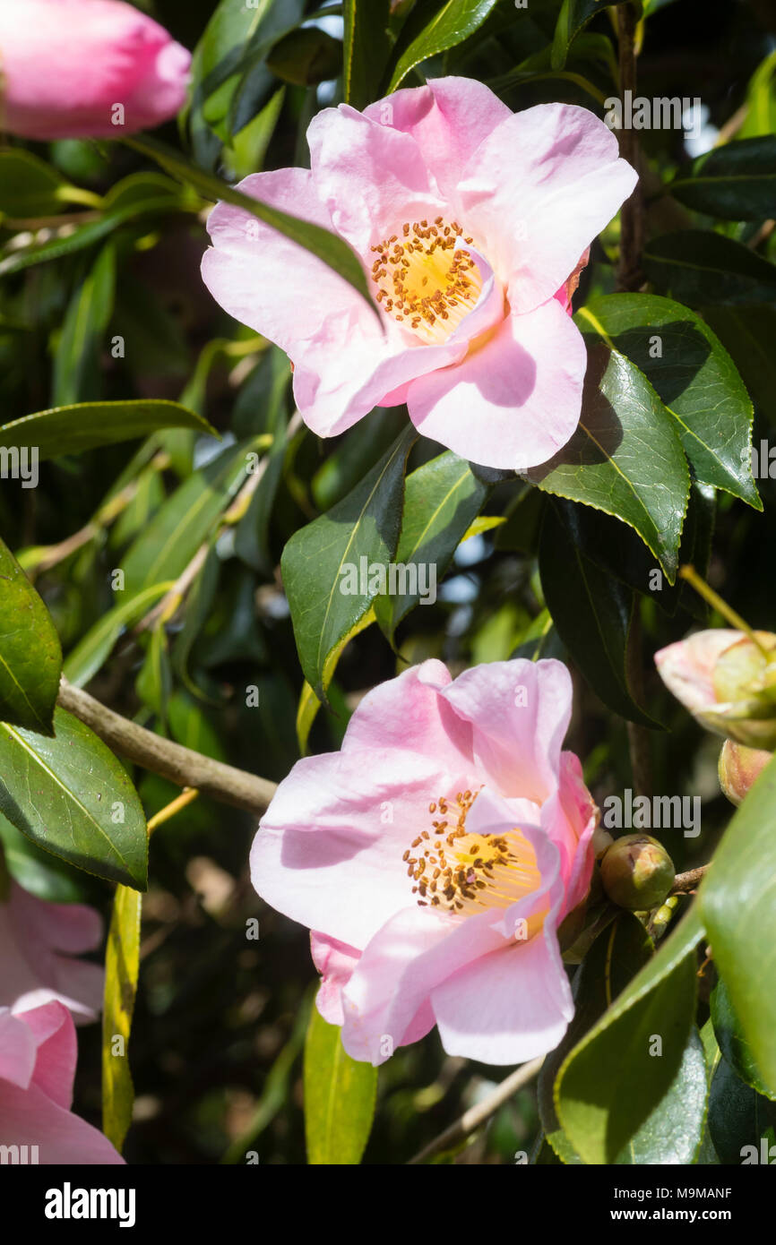 Flowers of the hardy evergreen shrub, Camellia x williamsii 'J C Williams' - Stock Image