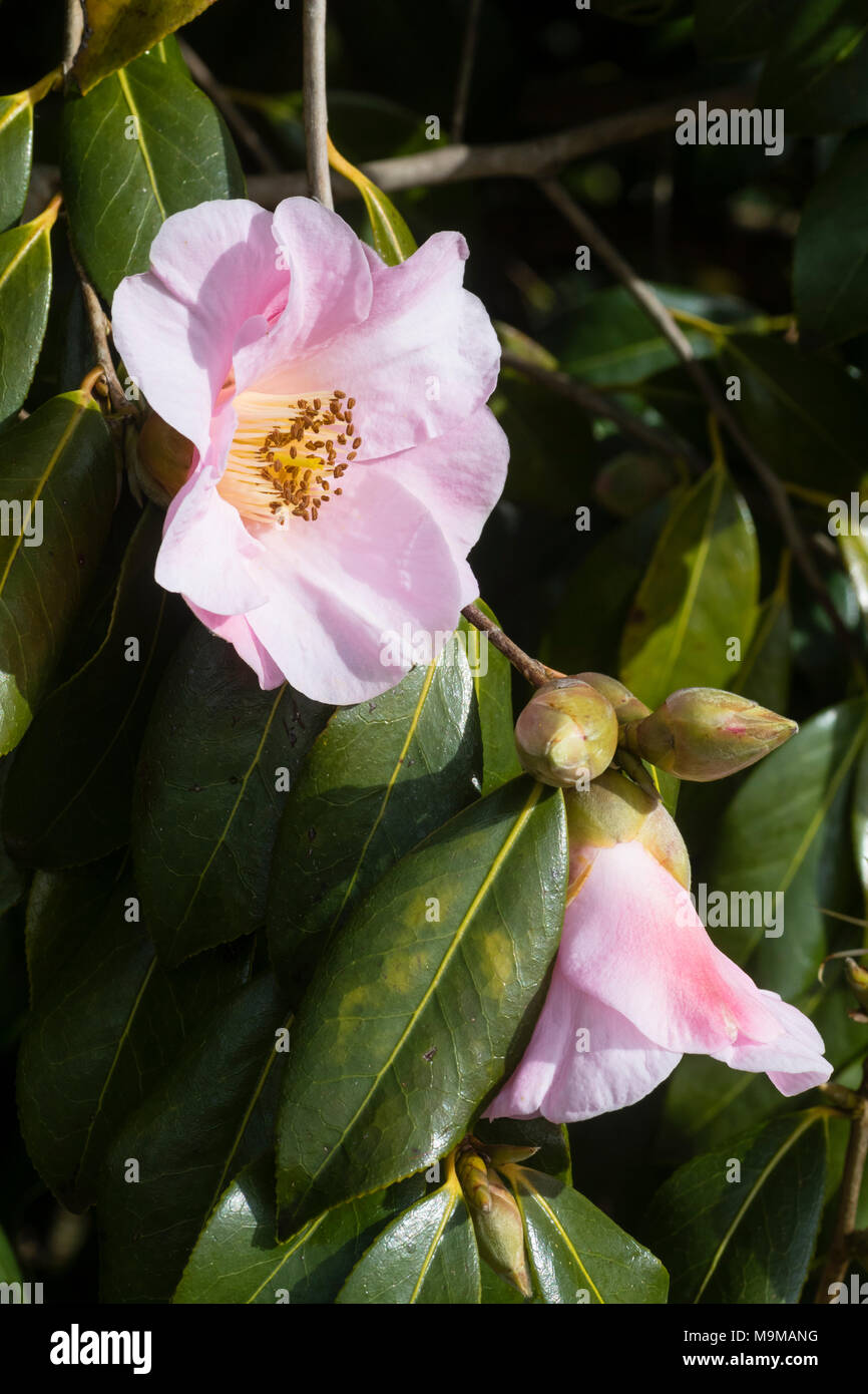 Single flower of the hardy evergreen shrub, Camellia x williamsii 'J C Williams' - Stock Image