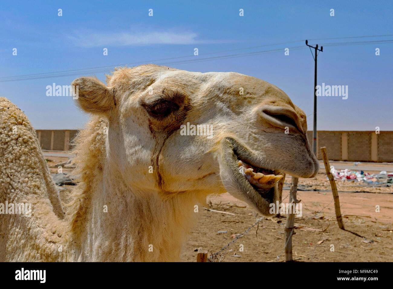Close-ups of camels for sale near Riyadh, Saudi Arabia Stock