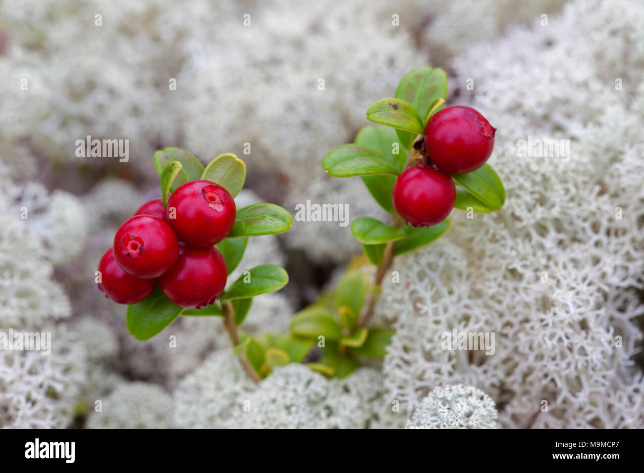 Lingonberry / cowberry / lowbush cranberry / partridgeberry (Vaccinium vitis-idaea) showing ripe red berries among reindeer lichen - Stock Image