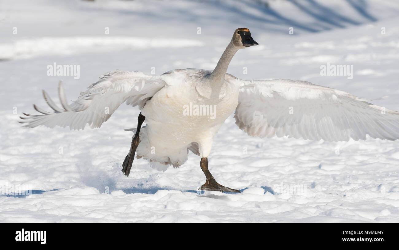 Trumpeter swan (Cygnus buccinator) lifting off frozen St. Croix River, Hudson, WI, early January, by Dominique Braud/Dembinsky Photo Assoc - Stock Image
