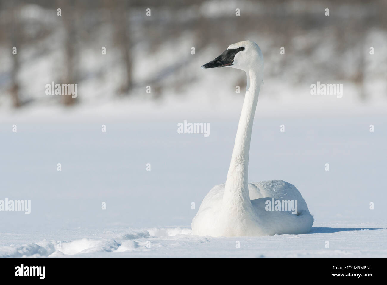 Trumpeter swan (Cygnus buccinator) resting on St. Croix River, WI, USA, by Dominique Braud/Dembinsky Photo Assoc - Stock Image