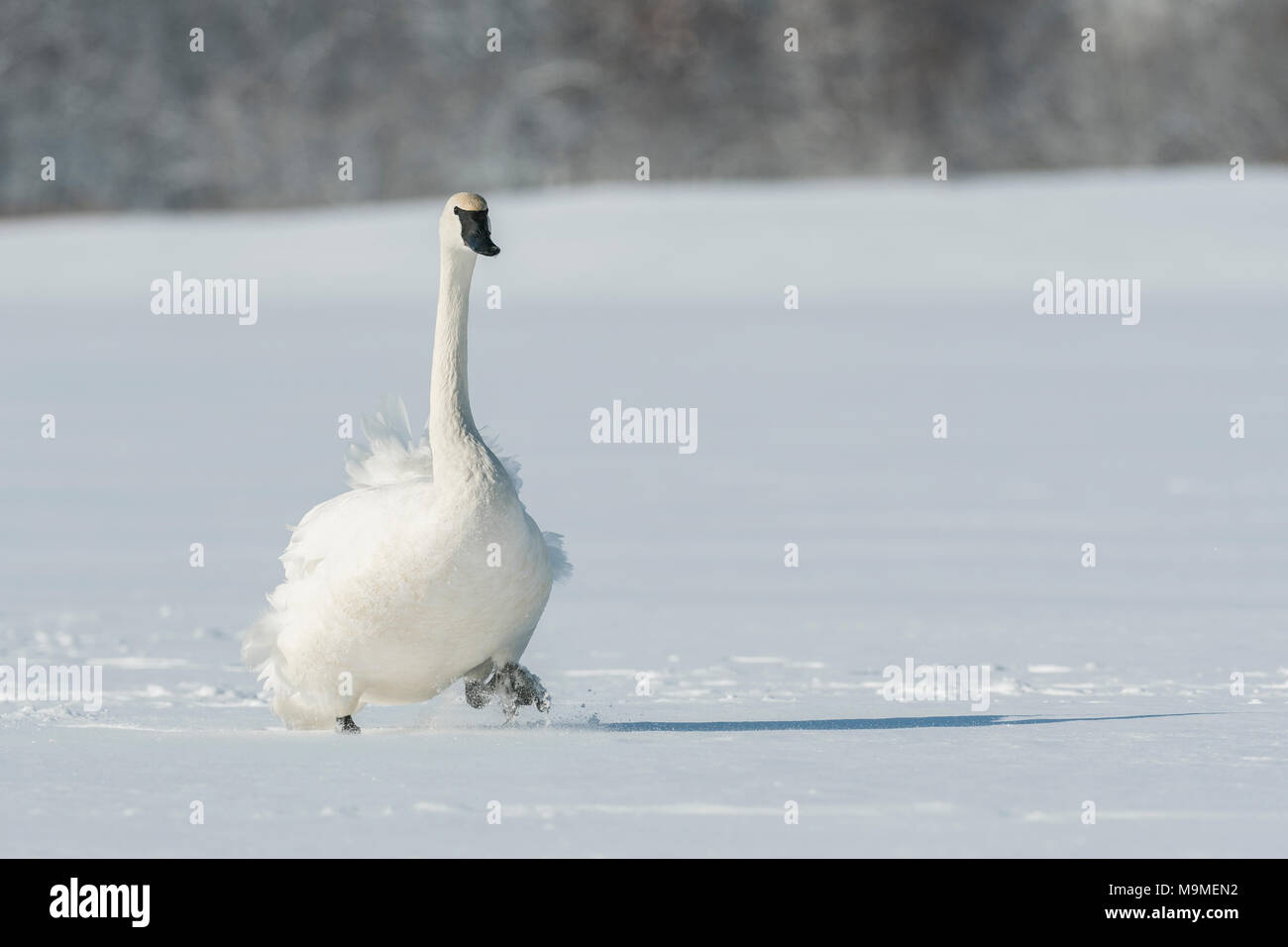 Trumpeter swan (Cygnus buccinator) walking on the frozen St. Croix river.  Hudson, Wisconsin. Late February. - Stock Image