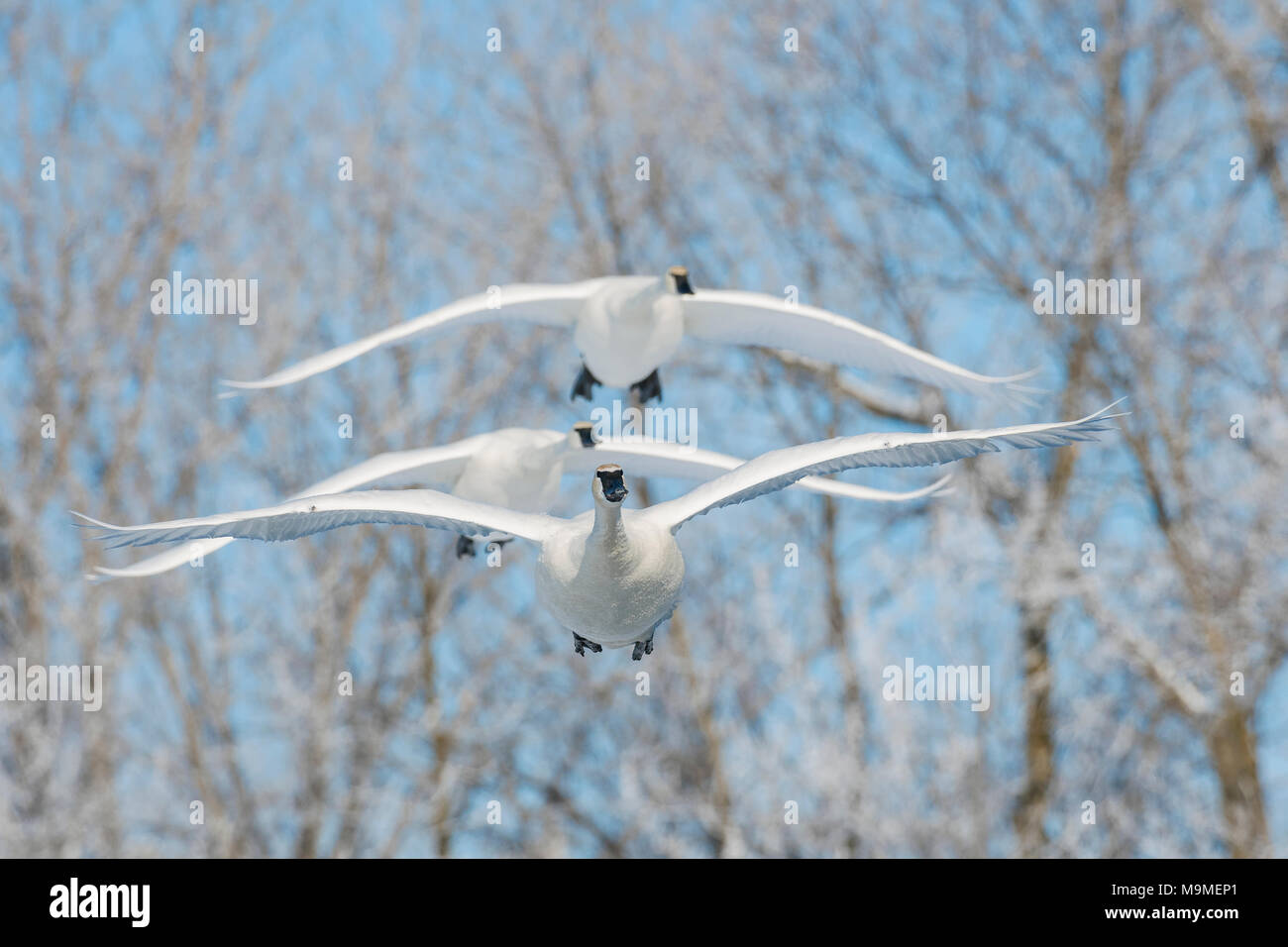 Trumpeter swans (Cygnus buccinator), near St Croix river, WI, USA, late February, by Dominique Braud/Dembinsky Photo Assoc - Stock Image