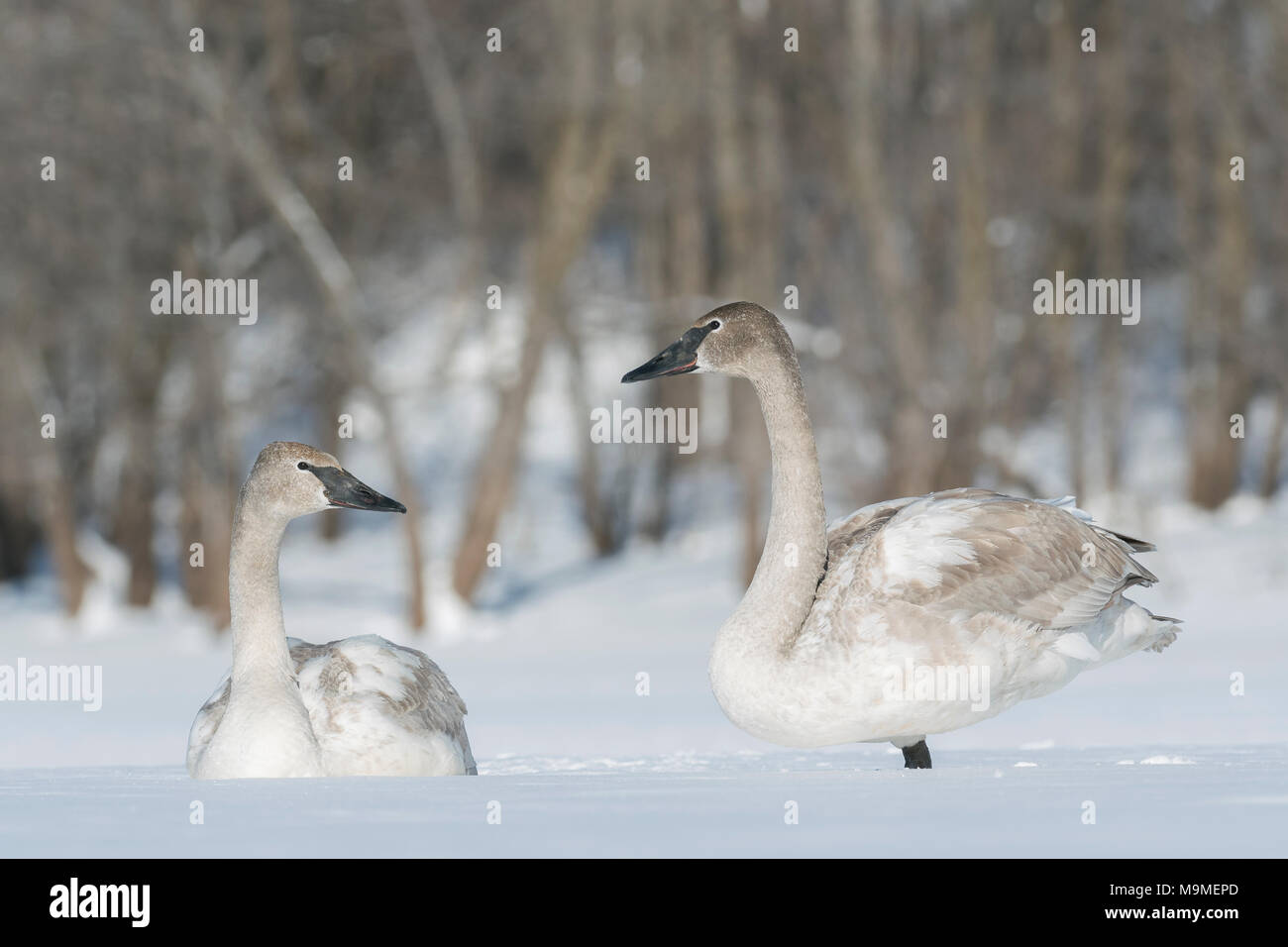 Immature trumpeter swans (Cygnus buccinator) resting on the frozen St. Croix river, WI, USA, February, by Domninqie Braud/Dembinsky Photo Assoc - Stock Image