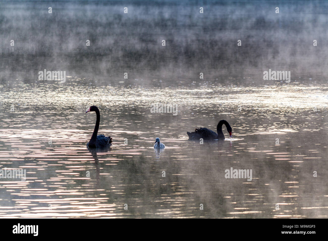 Black swan family at dawn - Stock Image