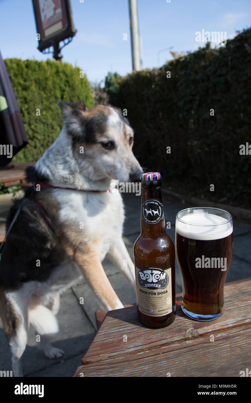 Border Collie Blue Merle family pet dog concentrating on a bottle of Bottom Sniffer beer for dogs - Stock Image