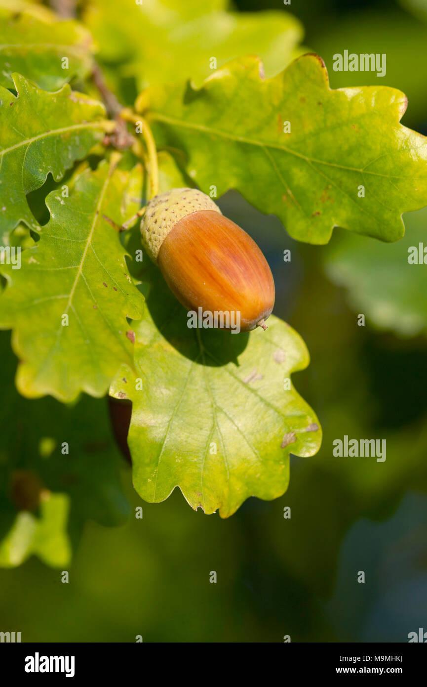 Common Oak, English Oak (Quercus robur). Ripe corn on a twig. Germany - Stock Image
