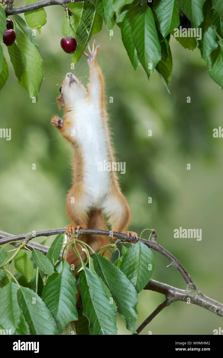 Red Squirrel (Sciurus vulgaris) stretching itself for ripe cherries in a cherry tree. Germany - Stock Image