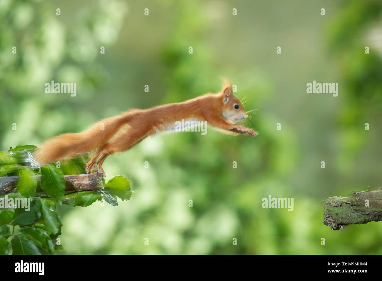 European Red Squirrel (Sciurus vulgaris) jumping from one branch to another. Germany - Stock Image