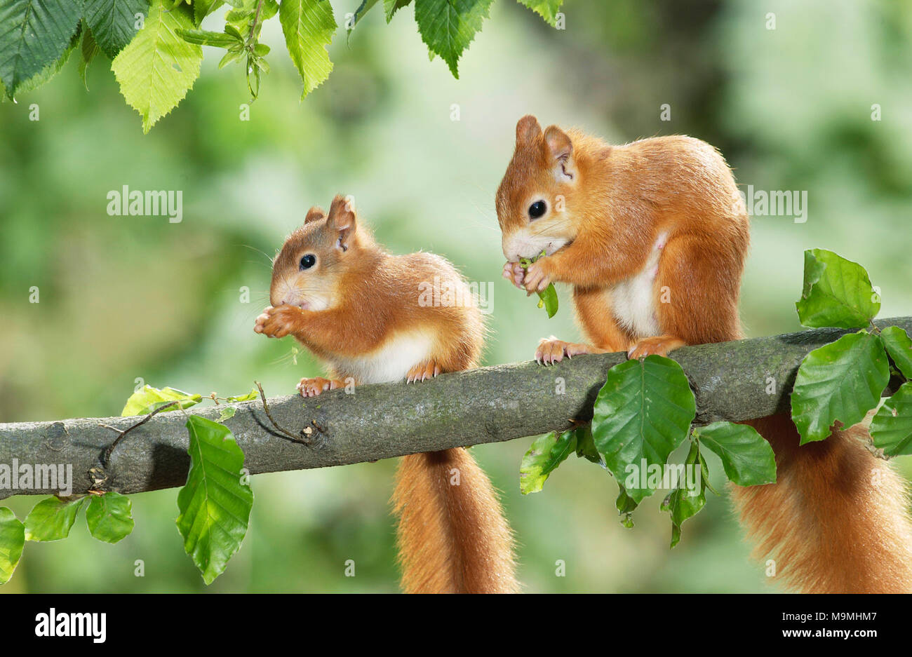European Red Squirrel (Sciurus vulgaris). Mother and young eating Hornbeam seeds. Germany - Stock Image