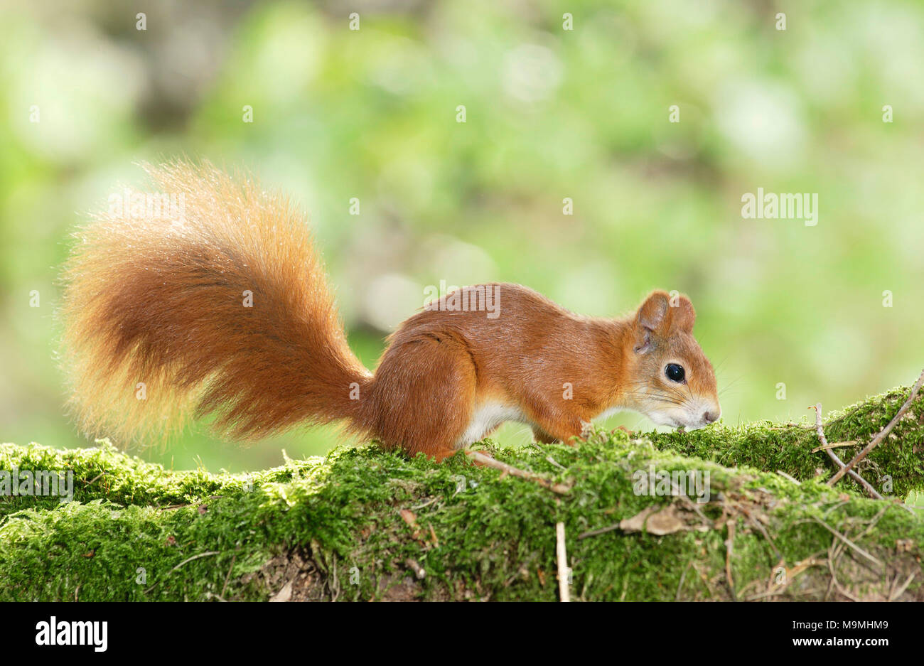 Red Squirrel (Sciurus vulgaris). Adult on a mossy log. Germany - Stock Image