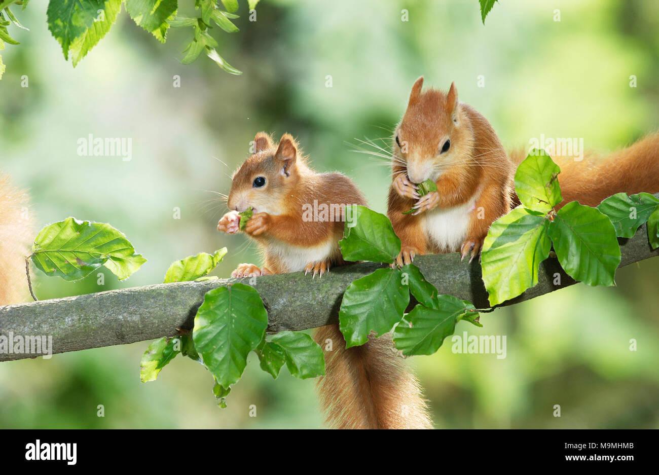 European Red Squirrel (Sciurus vulgaris). Two young eating Hornbeam seeds. Germany - Stock Image