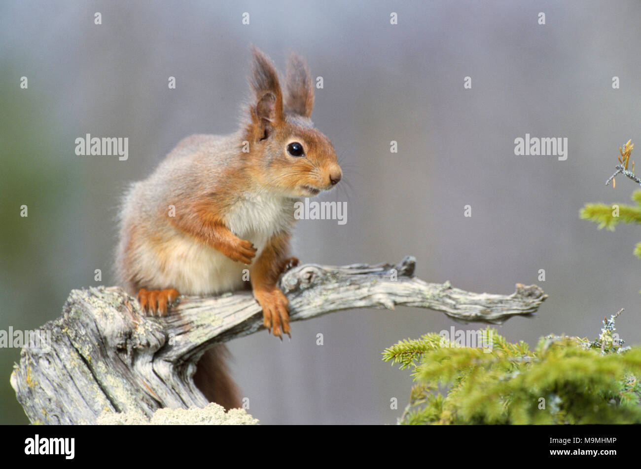 European Red Squirrel (Sciurus vulgaris). Adult on a dead gnarled branch. Germany - Stock Image