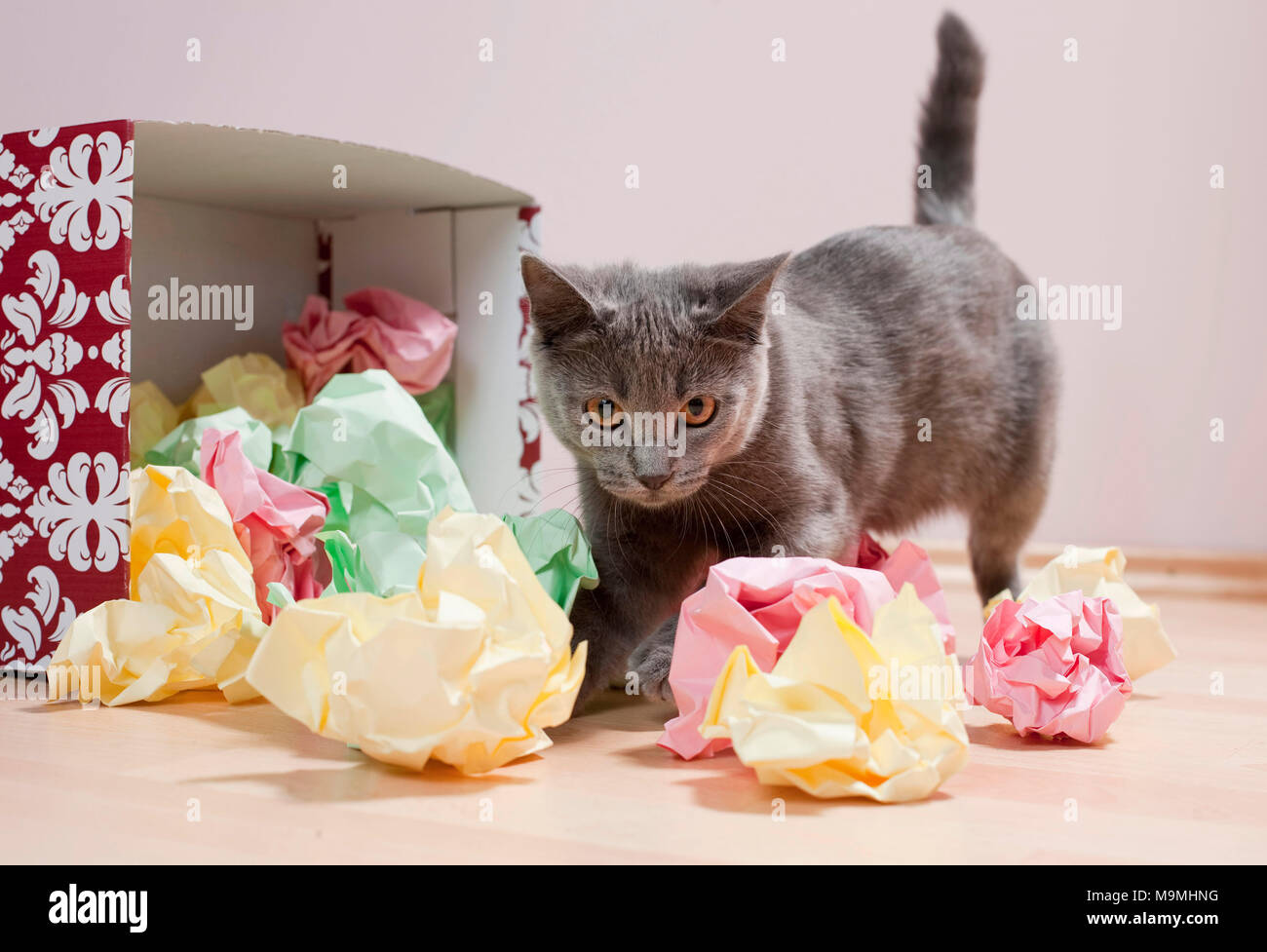Chartreux cat. Kitten playing with a box filled with paper, fine toy for cats. Germany - Stock Image