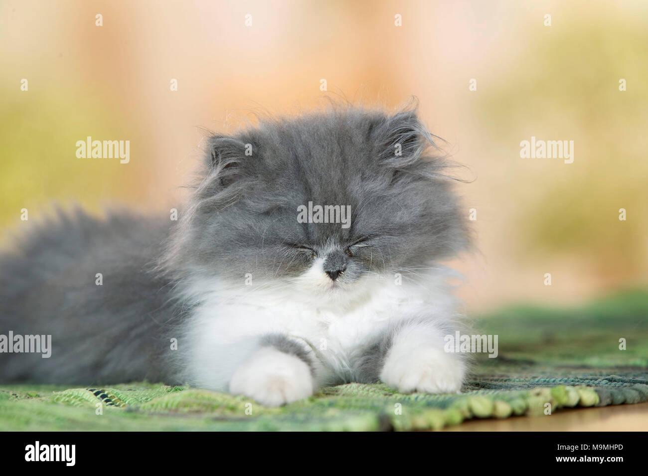 Persian Cat. Kitten lying on a carpet, dozing. Germany. - Stock Image