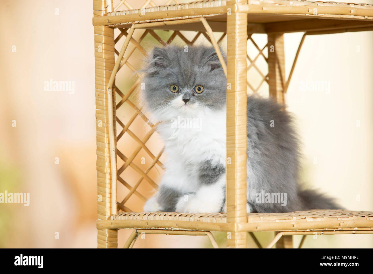 Persian Cat. Kitten sitting in a book-rack. Germany. - Stock Image