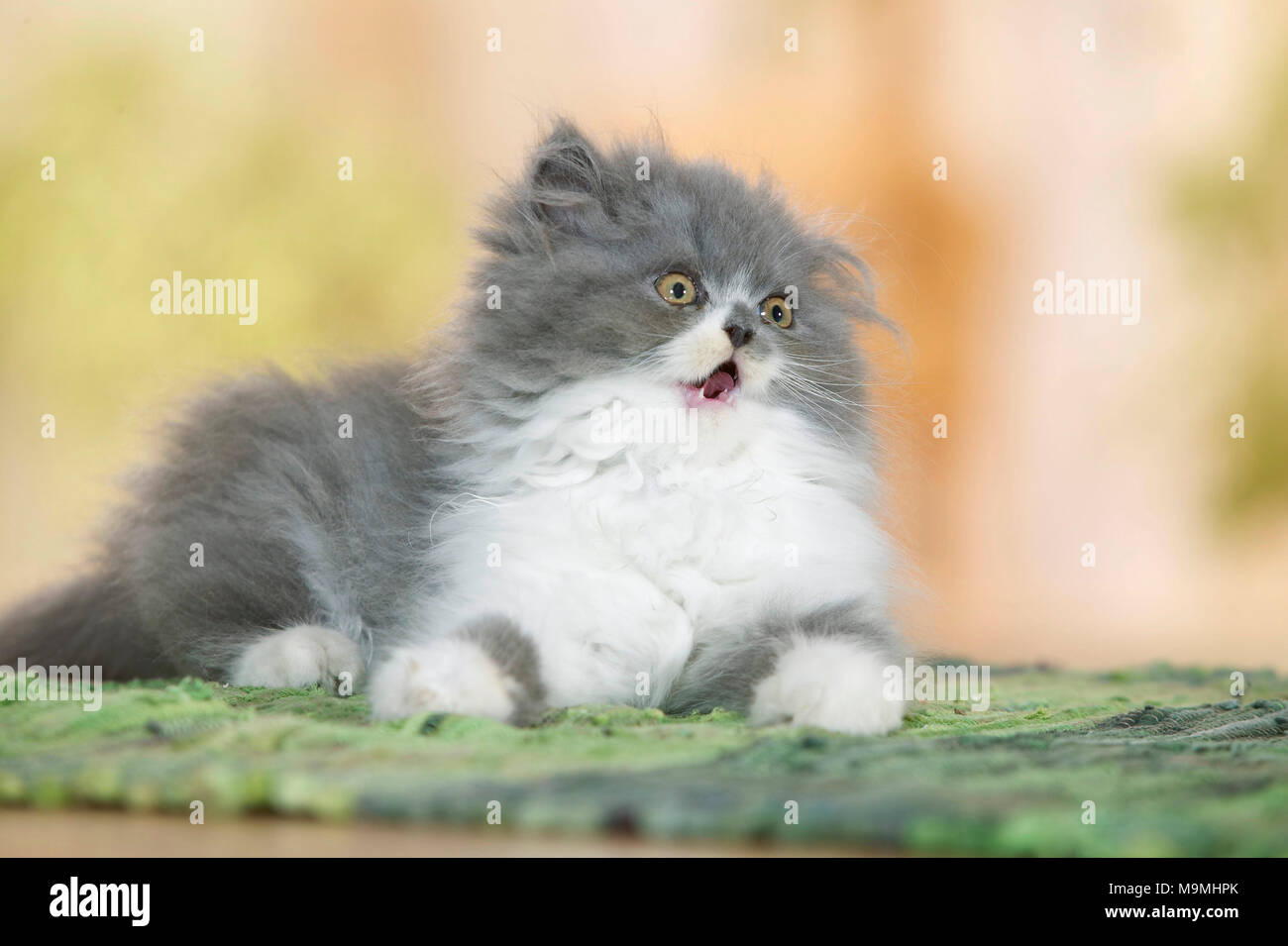 Persian Cat. Kitten lying on a carpet, with mouth open. Germany. - Stock Image