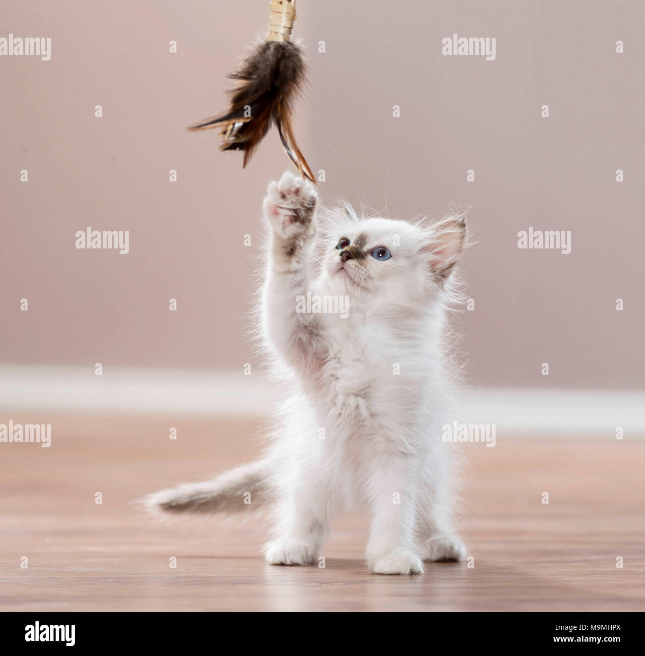 Sacred Birman. Kitten playing with a feather teaser. Germany . - Stock Image