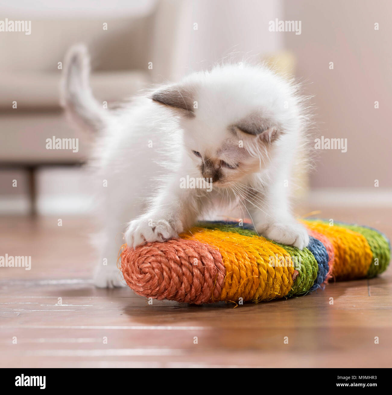Sacred Birman. Kitten playing with a scratch toy. Germany . - Stock Image