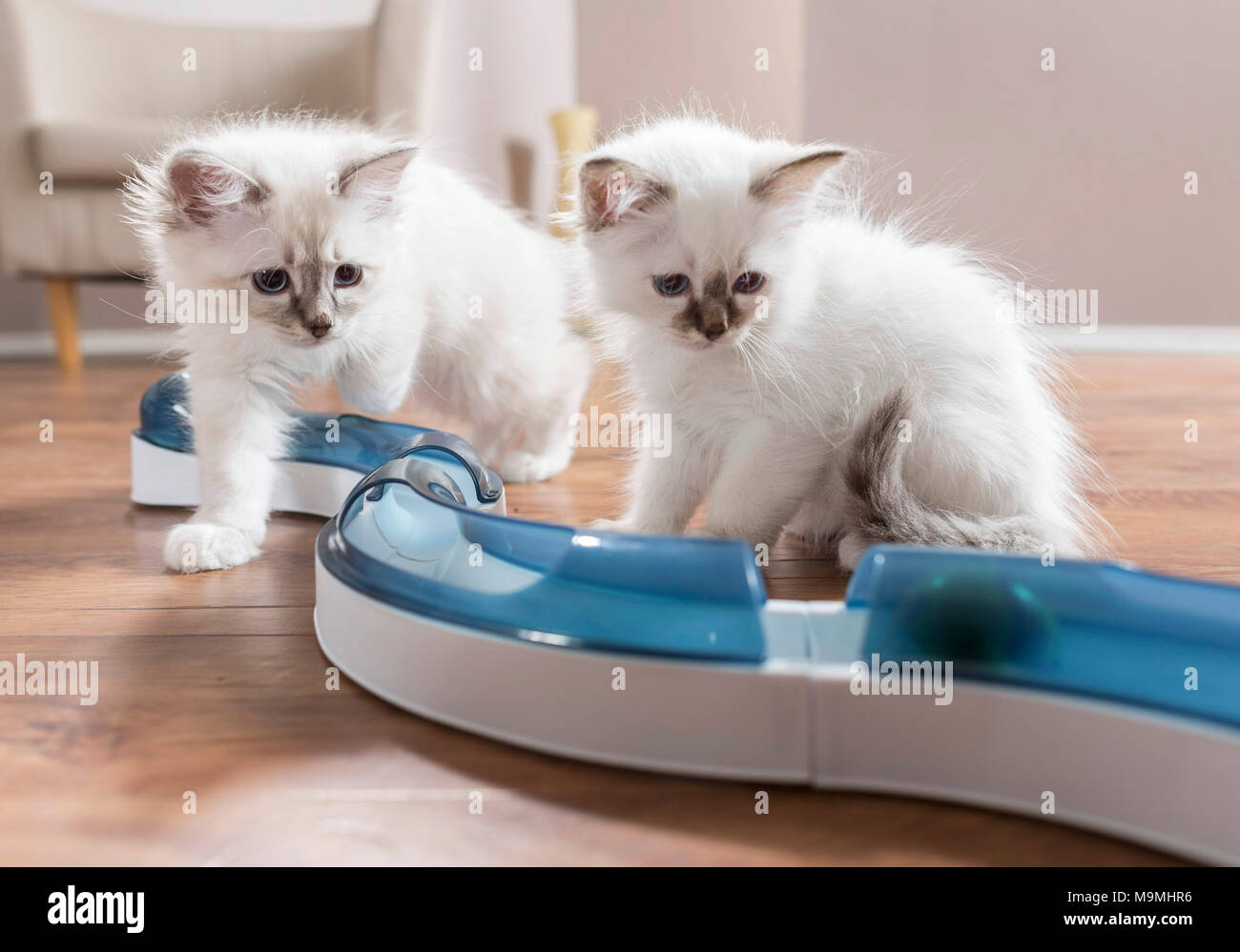Sacred Birman. Two kittens watching a ball in fun game (speed circuit). Germany . - Stock Image