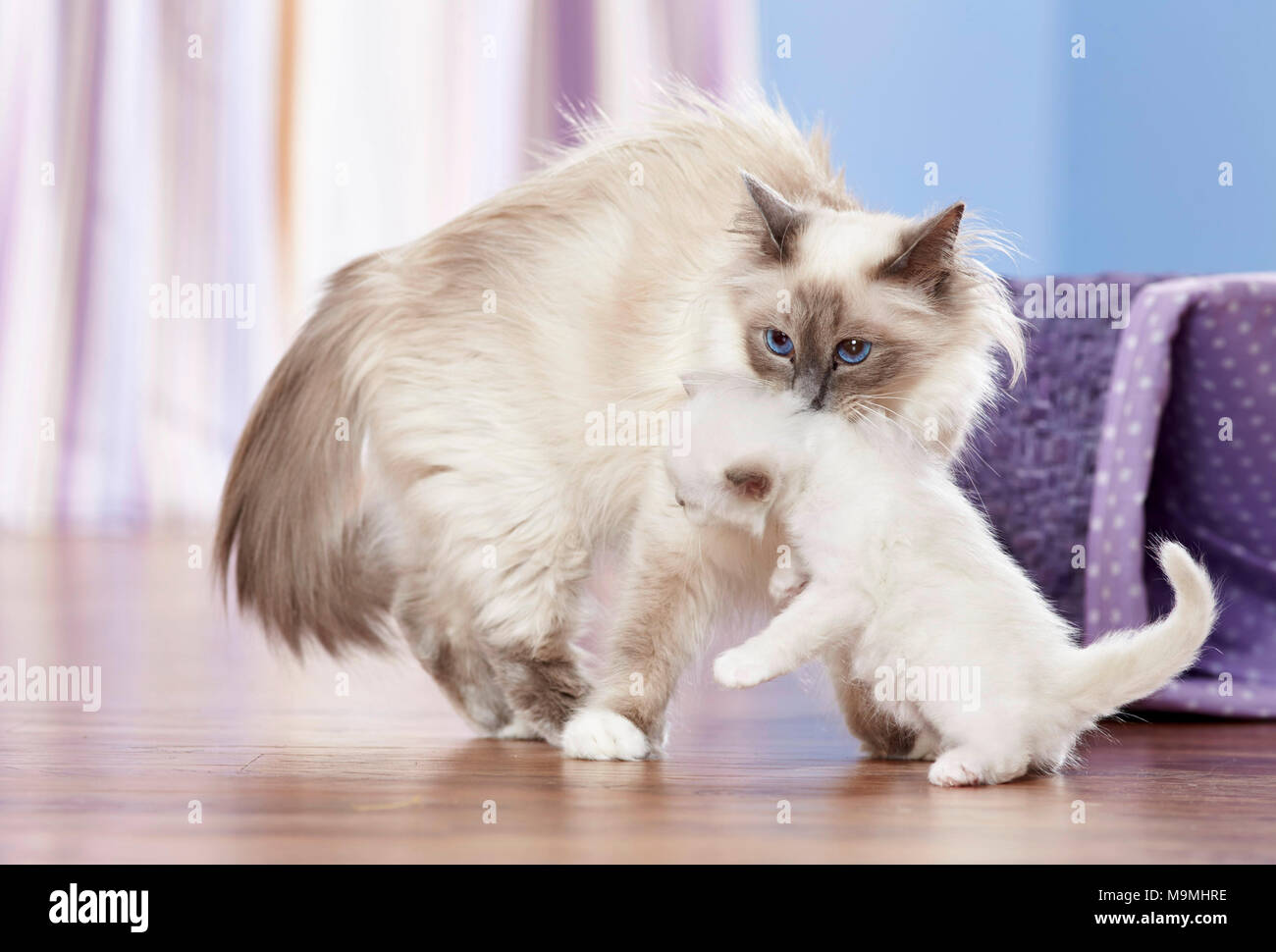 Sacred cat of Burma. Mother picking up kitten (4 weeks old). Germany - Stock Image