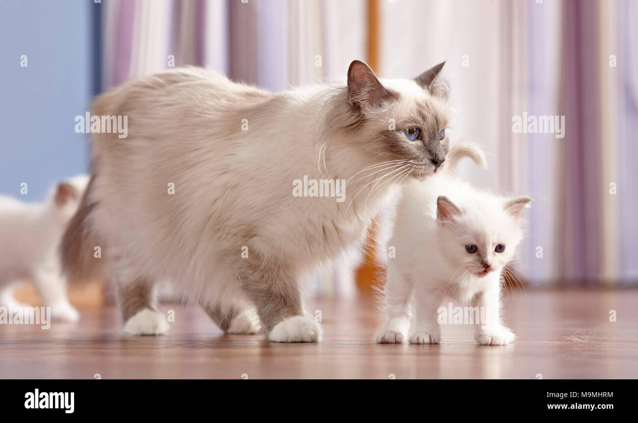 Sacred cat of Burma. Mother with two kittens (4 weeks old) walking on parquet. Germany - Stock Image