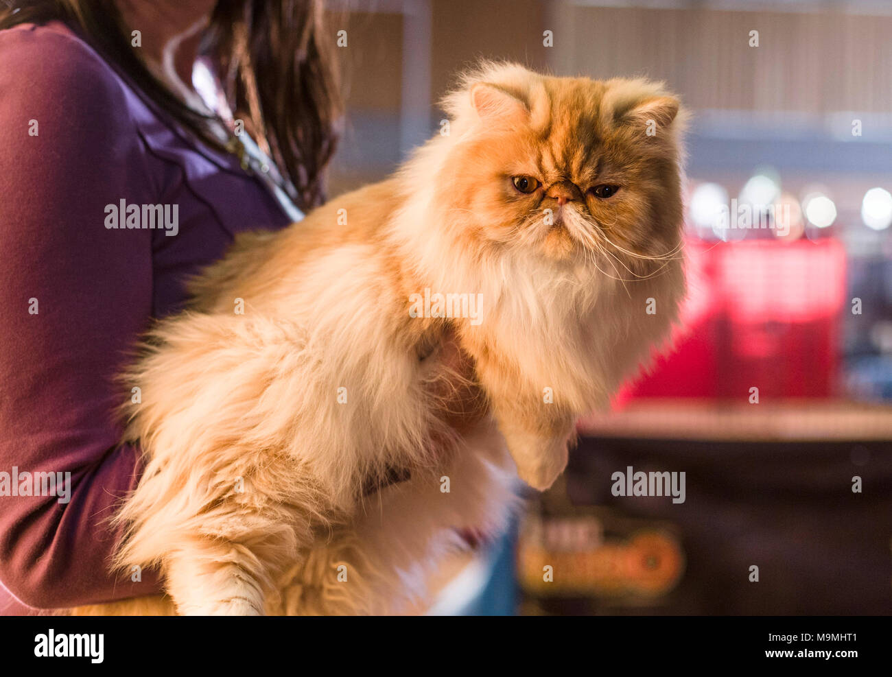 Persian cat presented at a cat show. Germany - Stock Image
