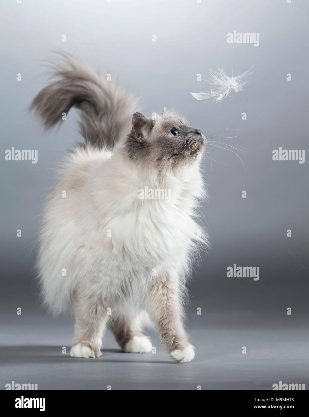 Sacred cat of Burma. Adult cat watching feather falling down. Studio picture against a gray background. Germany - Stock Image