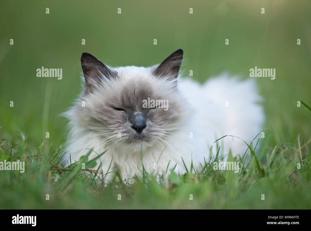 Sacred cat of Burma. Old cat dozing on a meadow. Germany - Stock Image