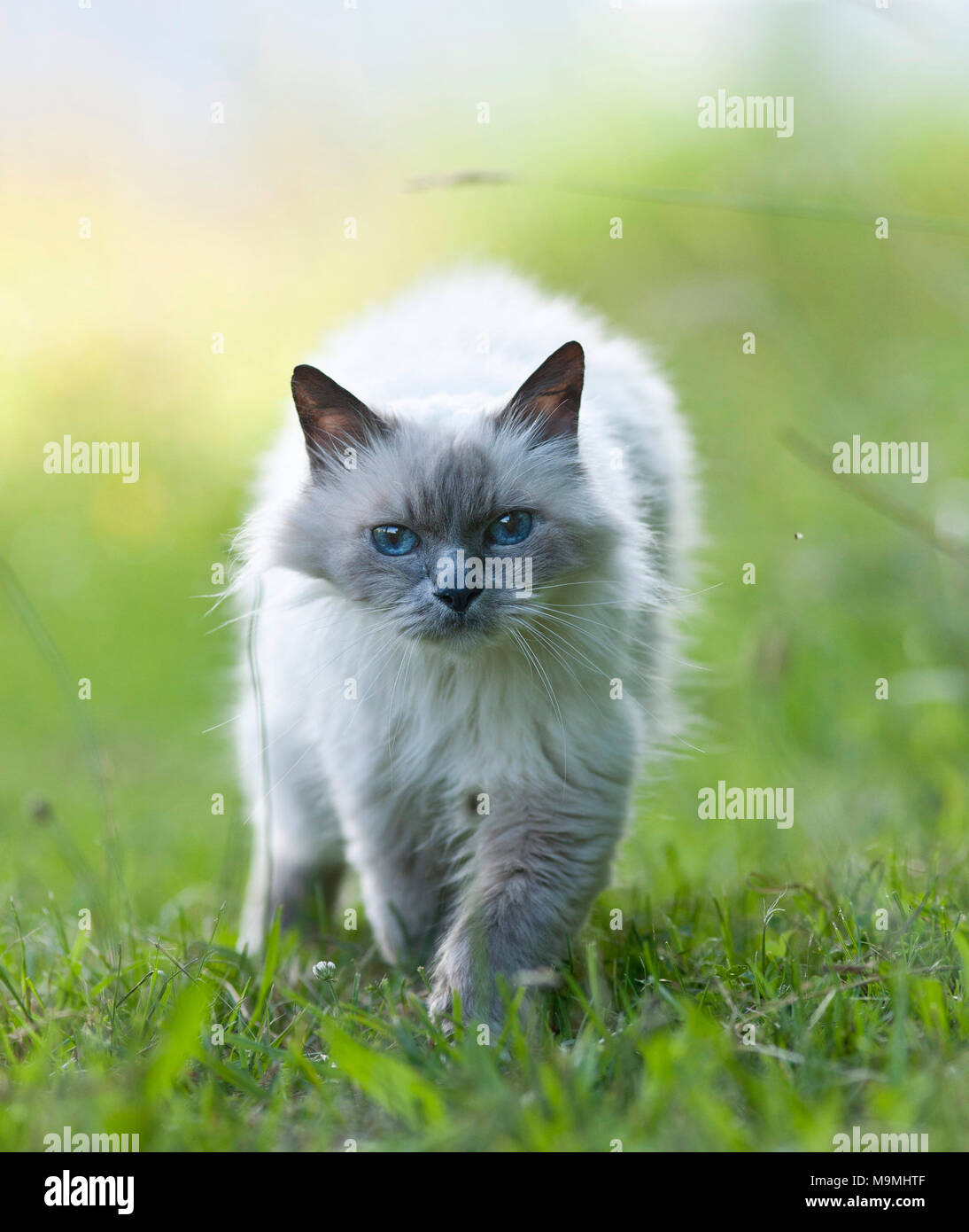 Sacred cat of Burma. Old cat walking on a meadow, seen head-on. Germany - Stock Image