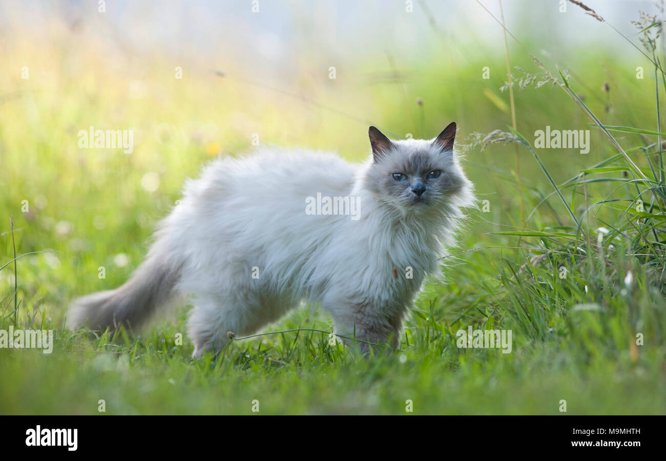 Sacred cat of Burma. Old cat standing on a meadow, seen side-on. Germany - Stock Image