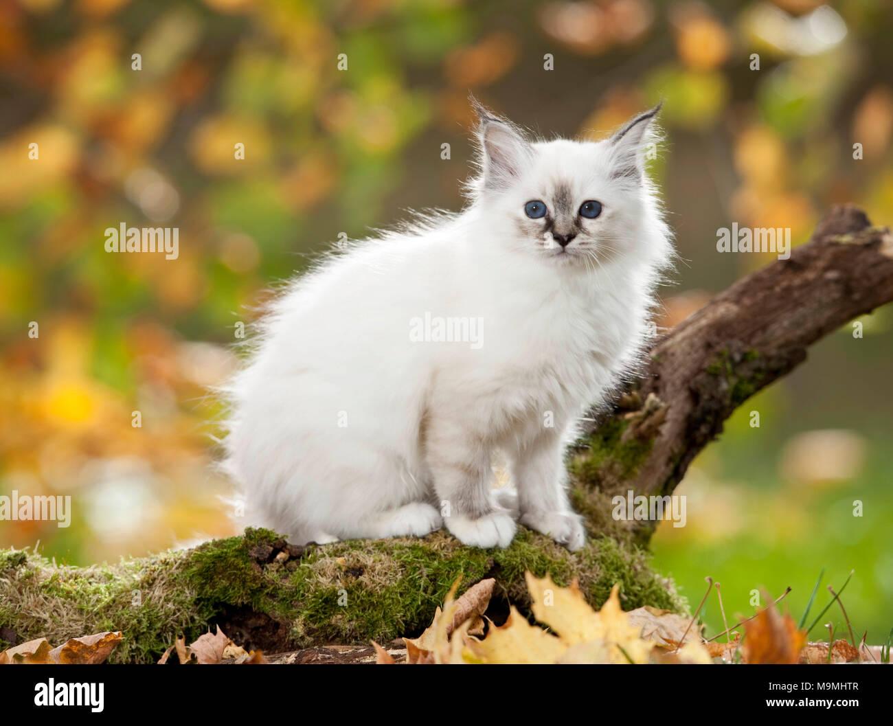 Sacred Birman. Kitten standing on a mossy log. Germany - Stock Image