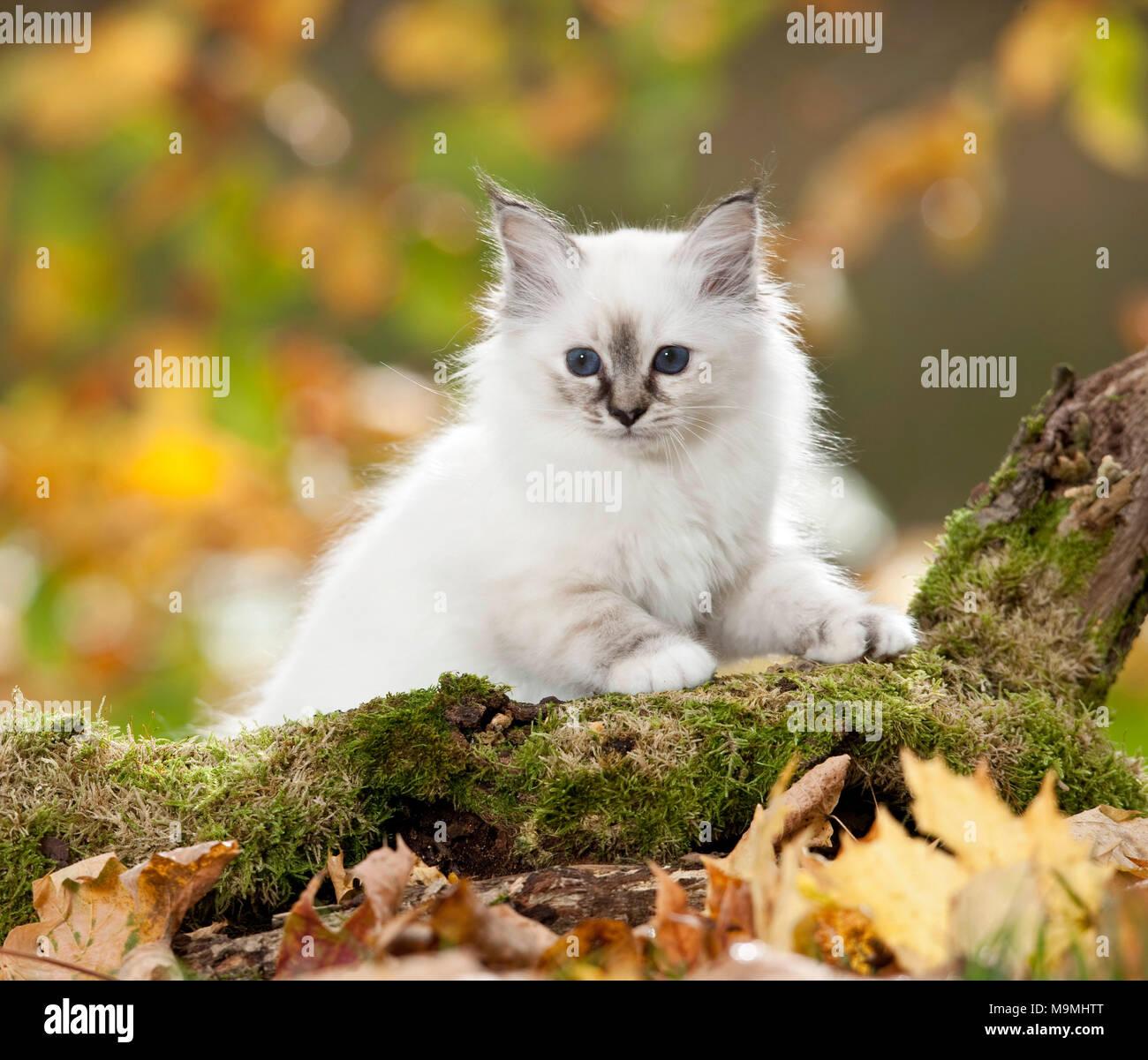 Sacred Birman. Kitten behind a a mossy log. Germany - Stock Image