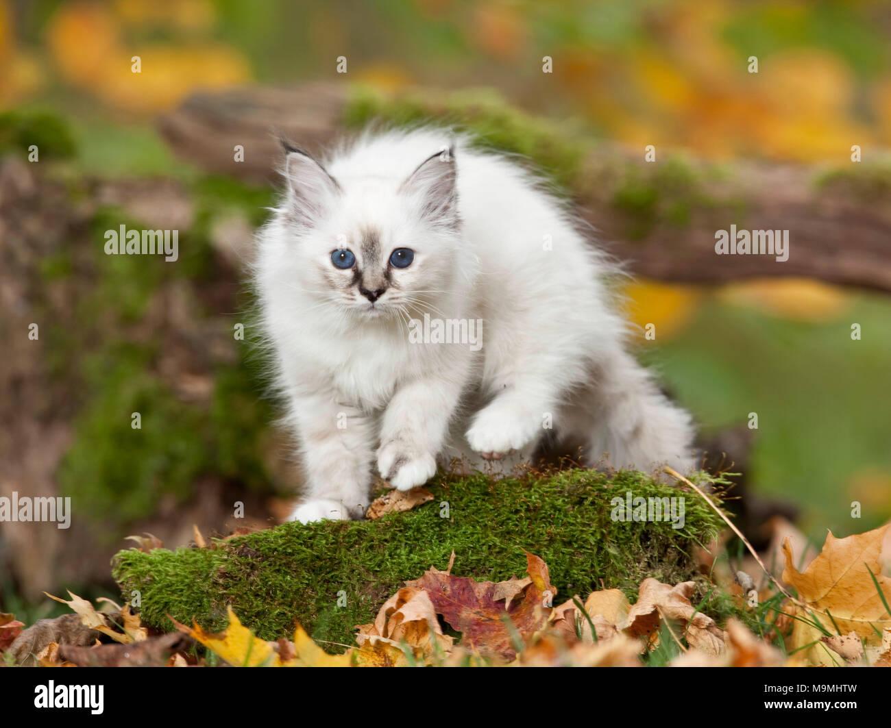 Sacred Birman. Kitten walking on a mossy log. Germany - Stock Image