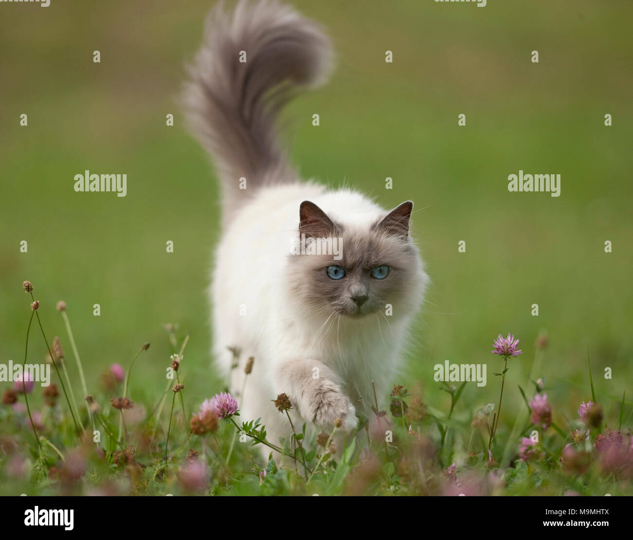 Sacred cat of Burma. Adult cat walking on a meadow, seen head-on. Germany - Stock Image