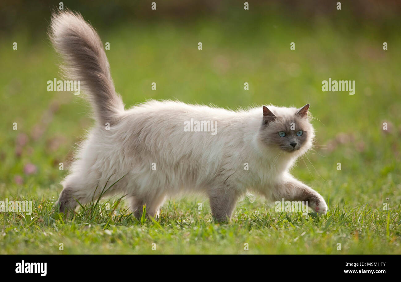Sacred cat of Burma. Adult cat walking on a meadow, seen side-on. Germany - Stock Image
