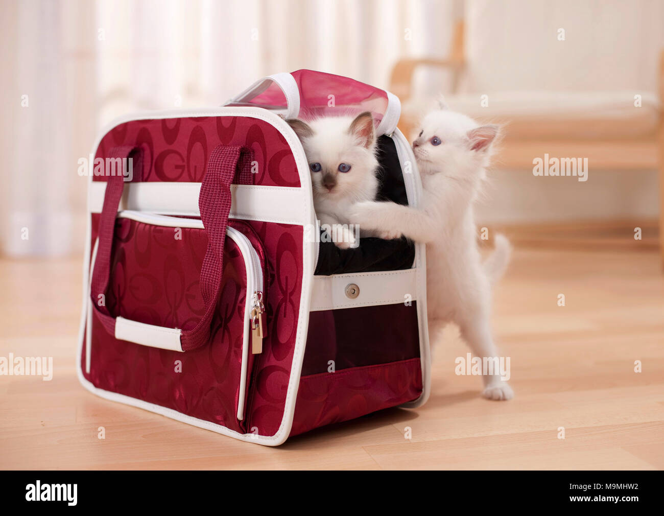 Sacred cat of Burma. Kitten (6 weeks old) in and next to a pet carrier. Germany - Stock Image