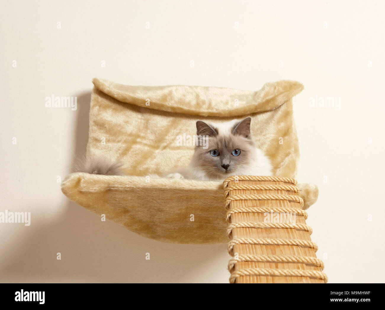 Sacred Birman. Adult cat lying in a wall mounted pet bed, with ladder. Germany - Stock Image