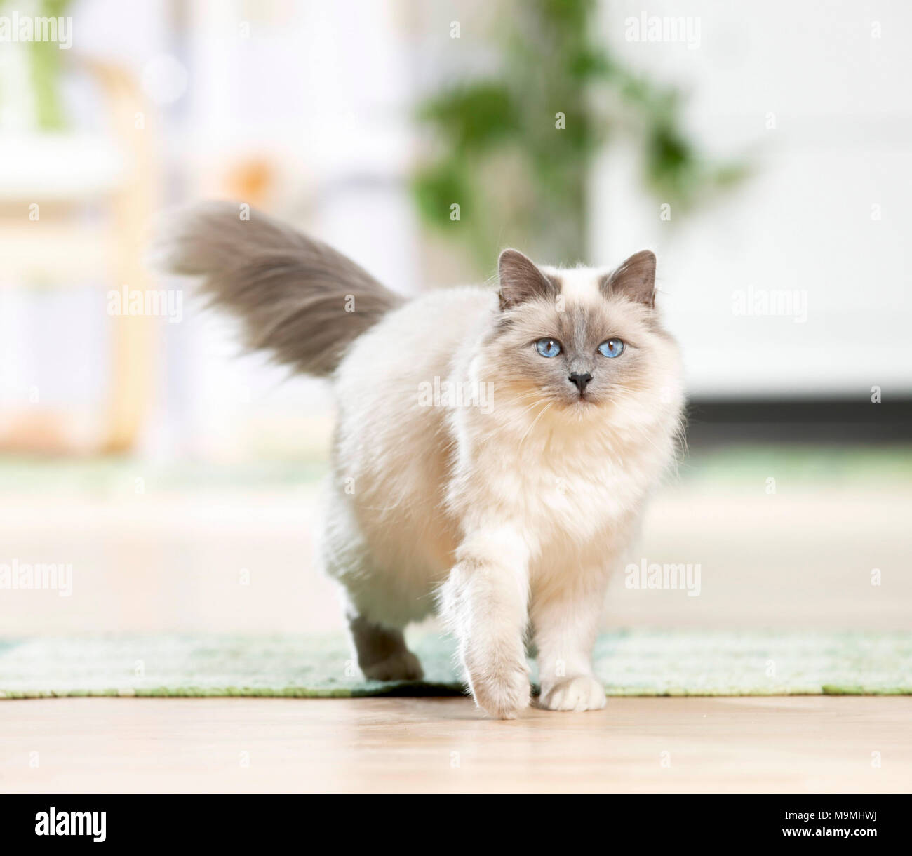 Sacred Birman. Adult cat walking in a living room. Germany Stock Photo