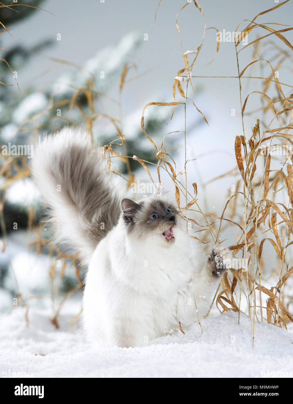 Sacred cat of Burma. Adult cat playing with dry stalks in snow. Germany - Stock Image