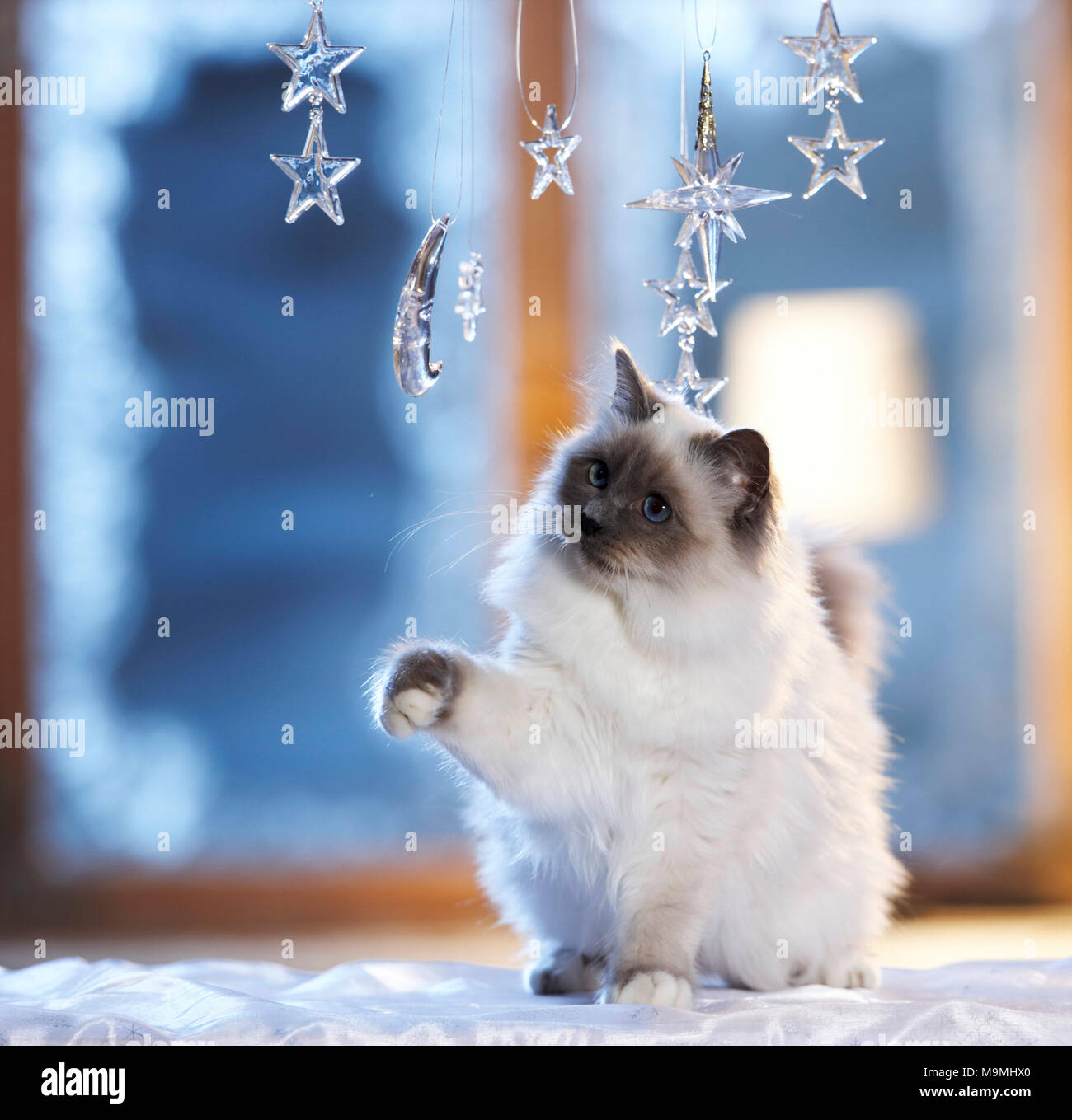 Christmas: Sacred cat of Burma playing with moon and stars made of glass in a festive decorated window. Germany - Stock Image