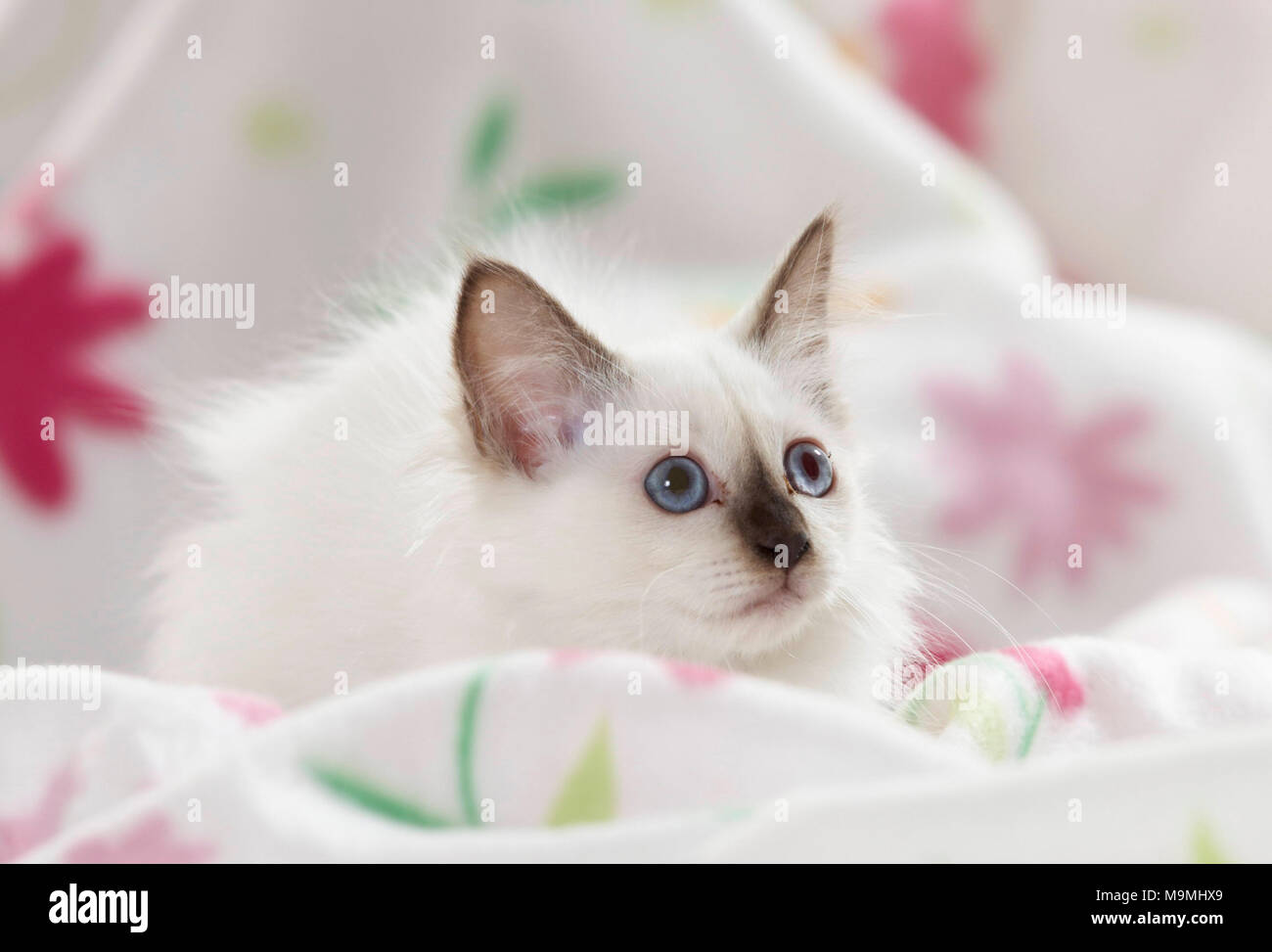 Sacred cat of Burma. Kitten lying on a white blanket with flower print. Germany - Stock Image