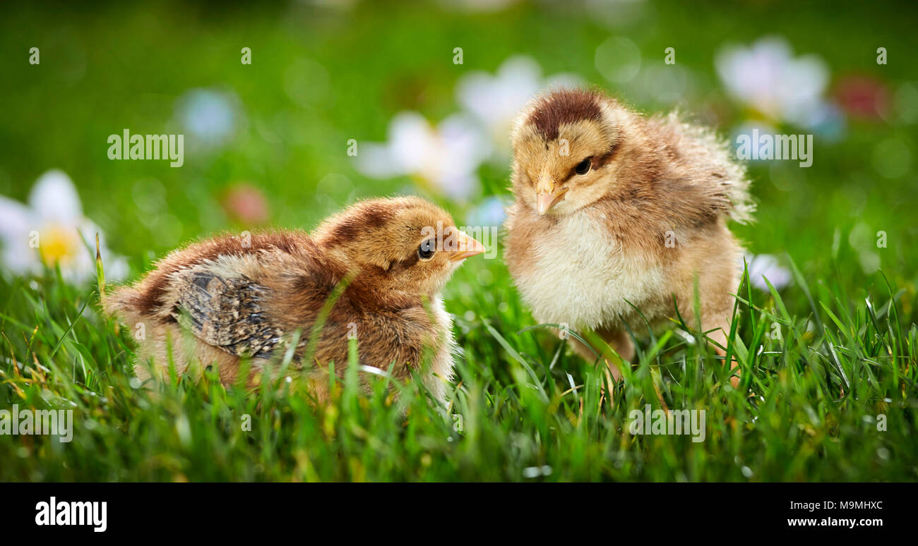Welsummer Chicken. Pair of chickens in flowering meadow in spring. Germany - Stock Image