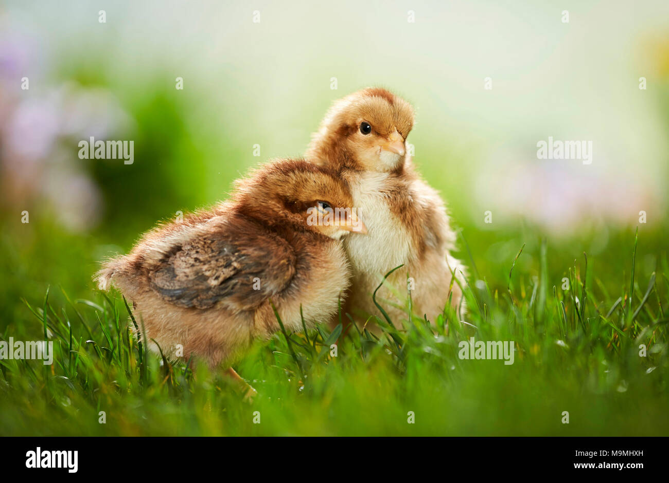 Welsummer Chicken. Pair of chickens in meadow in spring. Germany - Stock Image