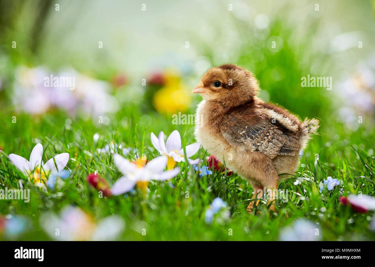 Welsummer Chicken. Chicken in flowering meadow in spring. Germany Stock Photo